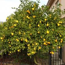 Итальянская история: лимончелло